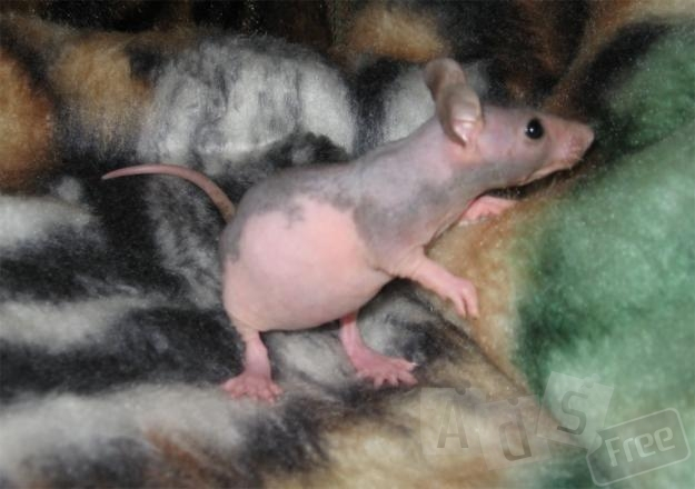 Крыски сфинкс