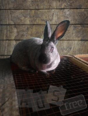 Кролики породы Полтавское серебро