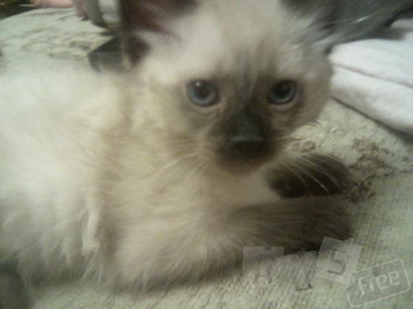 Продаётся невский маскарадный котёнок.