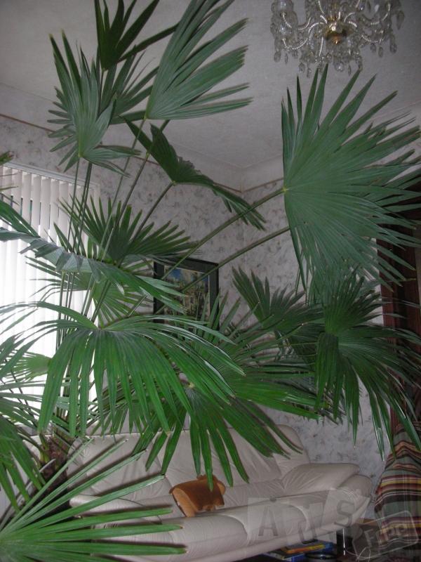 Продаю шикарную пальму