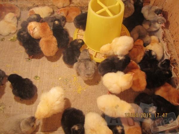 Продажа суточных и подрощенных цыплят