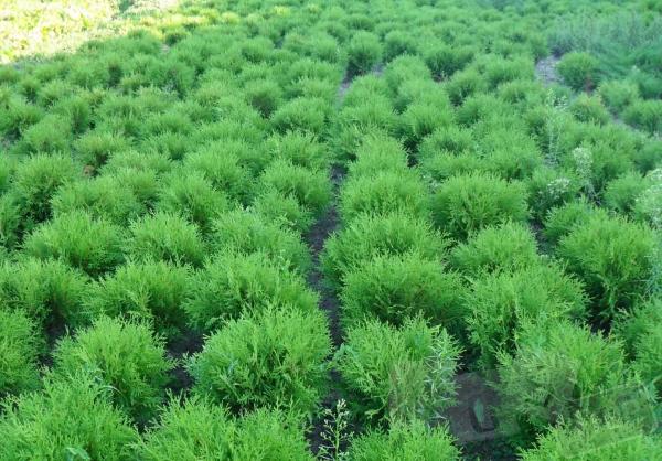 рулонный газон укладка, посев газона