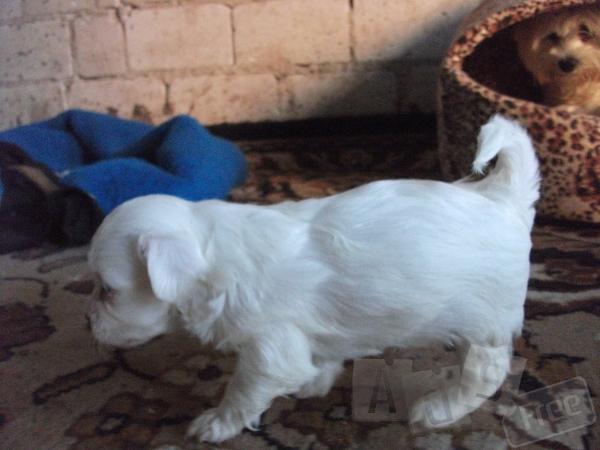 Продаються щенки Мальтійської Болонки