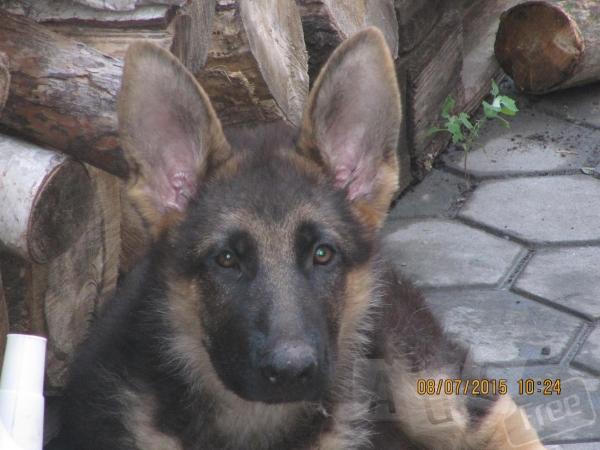 шикарный щенок немец