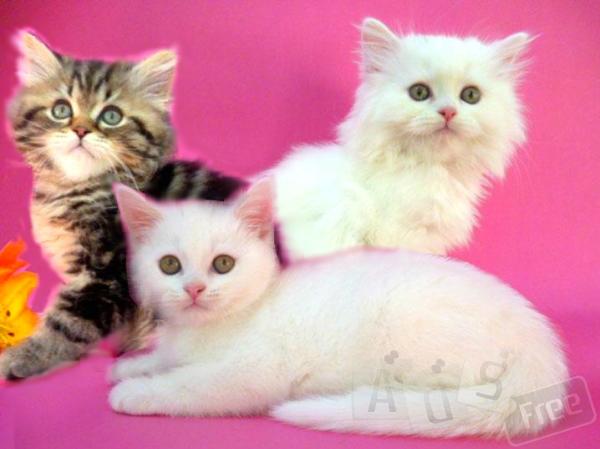 Предлагаем шотландских прямоухих котят