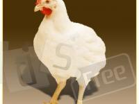 Цыплят яично и мясо-яичных пород.