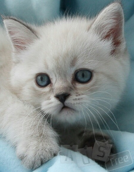 Котята британские, колор поинт, табби