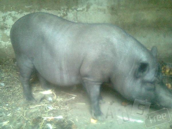 Продам вьетнамского свина