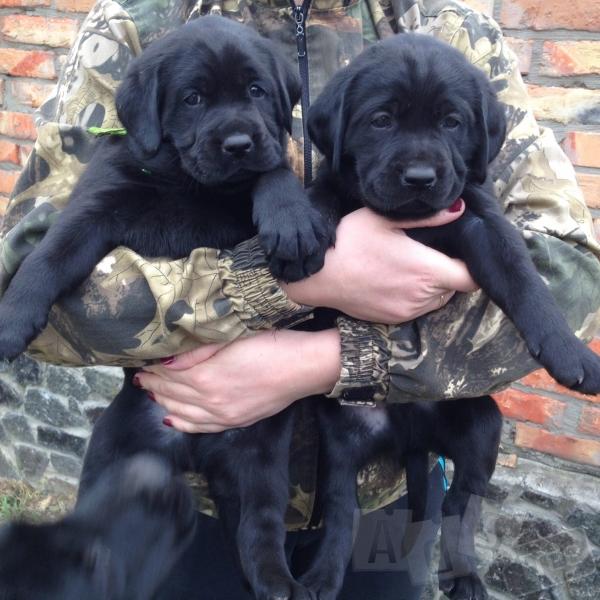 Продам щенков Лабрадора - ретривера