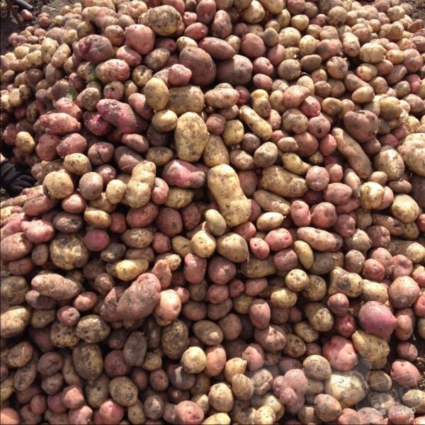Продам картофель оптом, цена договорная