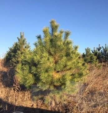 Новогодние хвойные деревья. оптом