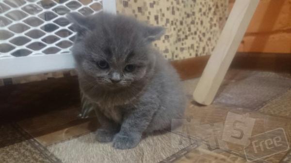 Продаю котят Британской породы