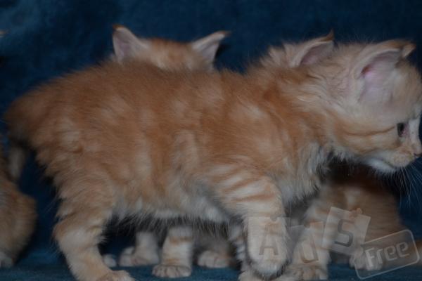 Котята мейн кун с международными докумен