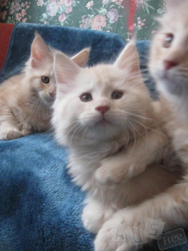 Шикарные котята мейн кун с международным