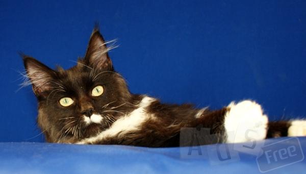 Котик мейн-кун красавец