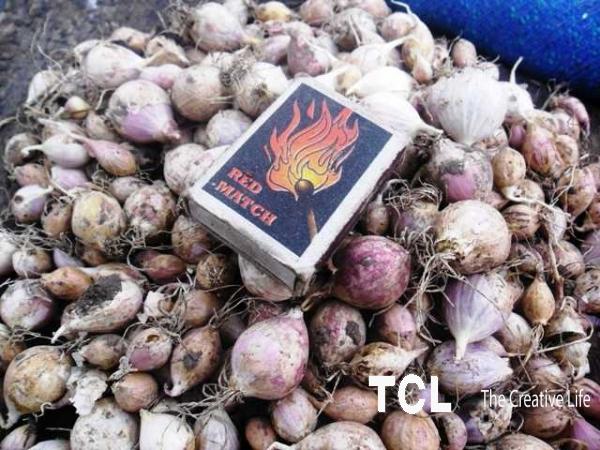 Продам чеснок Семена чеснока однозубка