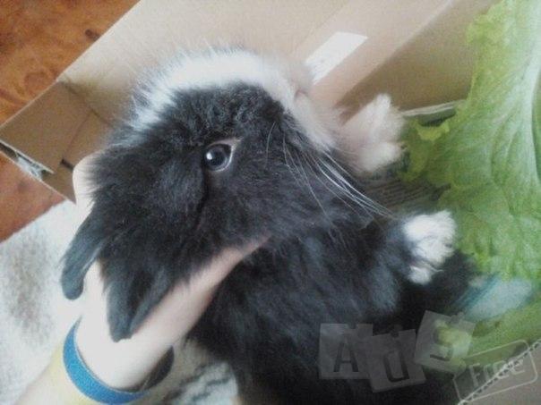 Віддам в добрі руки кролика) 3 місяці) маленький, декоративний