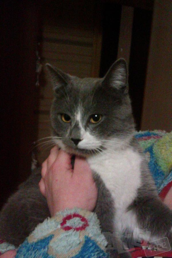 Пепельно-белый котик ищет новый дом