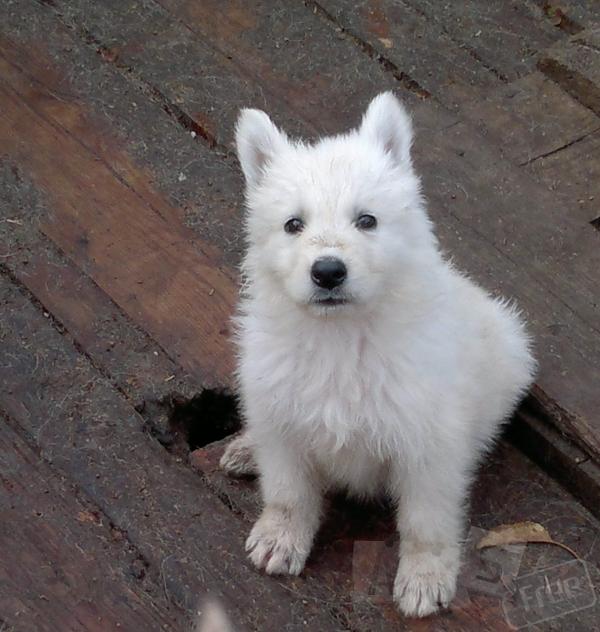 Щенки - Белая Щвейцарская Овчарка