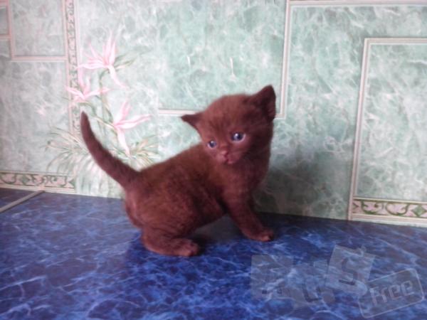 продам котят шотландских  страйт