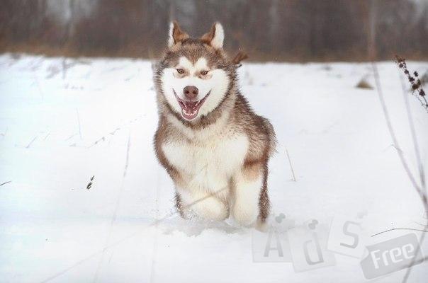 Аляскинский Маламут.