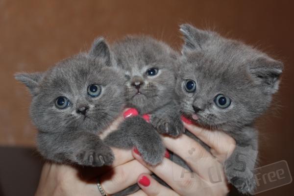 Британские шикарные плюшевые котята.