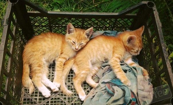 Отдам рыжих котяток