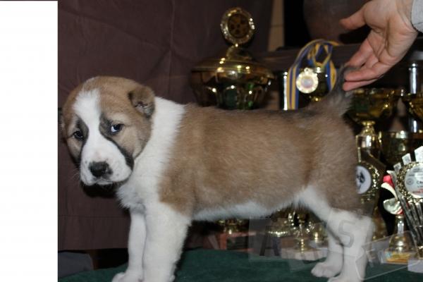 Продаются щенки Алабая от 3-х кратного Ч