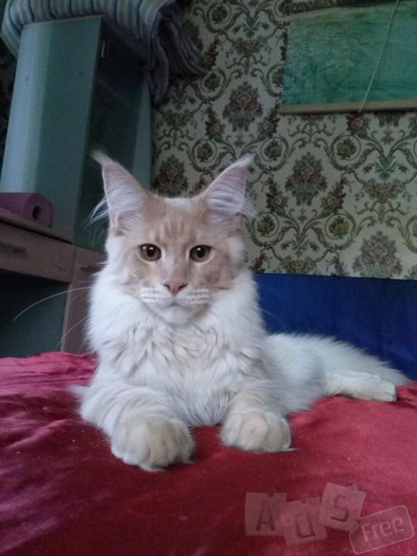 котик Мейн-кун в разведение